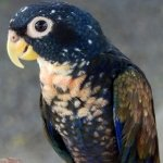 pionus_bronze-winged