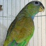 pionus parrot maximilians