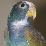 pionus parrot white-capped