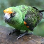 poicephalus brown-headed (3)
