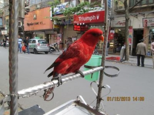 the-chained-street-parrot-of-hanoi-21759570