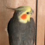 types_cockatiel