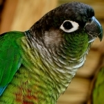 Small Conures