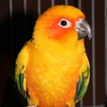 Large Conures