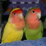types_lovebirds