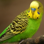 Small Parakeets