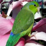 types_parrotlet