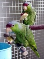parrot perches